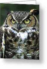 Great Horned Owl At Rest Greeting Card