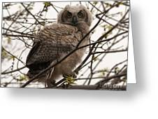 Great Horned Owlet 2 Greeting Card