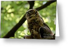 Great Horned Youngster Greeting Card