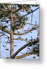Great Indian Hornbill Greeting Card