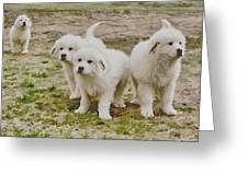 Great Pyranese Puppies Greeting Card by Bonnie Willis