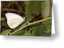 Great Southern White Butterfly Greeting Card by Rudy Umans