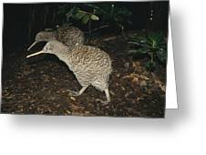 Great Spotted Kiwi Breeding Pair New Greeting Card