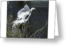 Great White Egret Building A Nest V Greeting Card