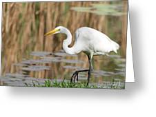 Great White Egret By The River Too Greeting Card