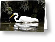 Great White Egret Eating Fish 2 Greeting Card