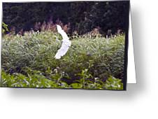 Great White Egret Flying 2 Greeting Card