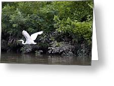 Great White Egret Flying 3 Greeting Card