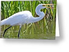 Great White Egret In Horicon Marsh Greeting Card
