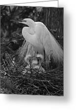 Great White Egret Mom And Chicks In Black Ans White Greeting Card