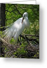 Great White Egret Primping Greeting Card