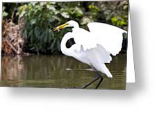 Great White Egret Show Off Greeting Card