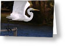 Great White Egret Takeoff Greeting Card