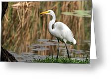 Great White Egret Taking A Stroll Greeting Card
