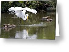 Great White Egret Wingspan And Turtles Greeting Card