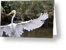 Great White Egret Wingspan1 Greeting Card