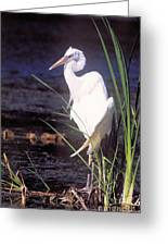 Great White Heron Greeting Card
