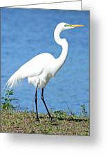 Great White Heron Greeting Card by Julie Cameron