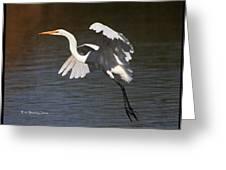 Greater Egret Landing Greeting Card