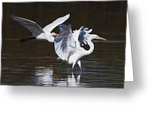 Greater Egrets Meet Up  Greeting Card