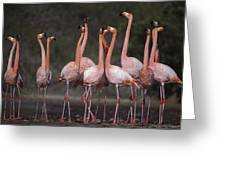 Greater Flamingo Group Courtship Dance Greeting Card