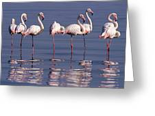 Greater Flamingo Group Greeting Card