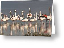 Greater Flamingos At Laguna De La Fuente De Piedra Greeting Card