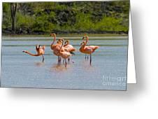 Greater Flamingos Greeting Card