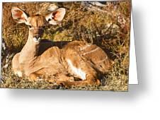 Greater Kudu Calf Greeting Card