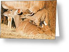 Greater Kudu Mother And Baby Greeting Card
