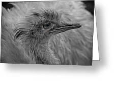 Greater Rhea Greeting Card
