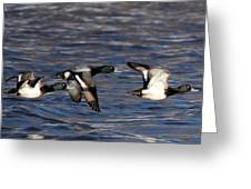 Greater Scaup Drakes Flight Greeting Card