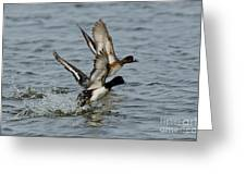 Greater Scaup Pair Greeting Card