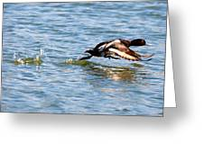 Greater Scaup Takes Flight Greeting Card