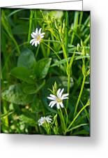 Greater Stitchwort Stellaria Greeting Card