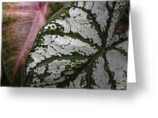 Green And Pink Caladiums Greeting Card