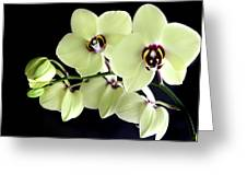 Green And Wine Hybrid Phalaenopsis Orchid Greeting Card