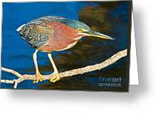 Green-backed Heron Greeting Card