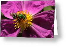 Green Bee Feeding On Rock Rose Greeting Card