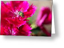 Green Bottle Fly On Dianthus  Greeting Card
