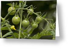 Green Cherry Tomatoes On The Vine Greeting Card