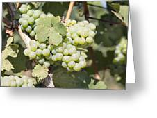 Green Grapes Growing On Grapevines Closeup Greeting Card