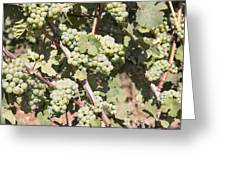 Green Grapes Growing On Grapevines Greeting Card
