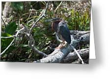 Green Heron 1 Greeting Card