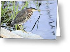 Green Heron 2 Greeting Card