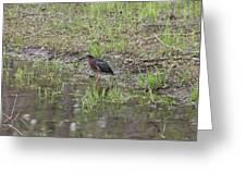 Green Heron Along Shore Greeting Card