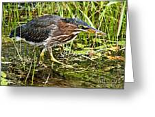 Green Heron And Catch Greeting Card