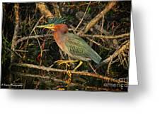 Green Heron Basking In Sunlight Greeting Card