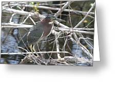 Green Heron In Everglades Np Greeting Card