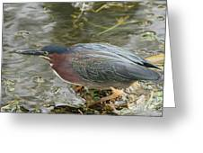 Green Heron On The Lookout Greeting Card